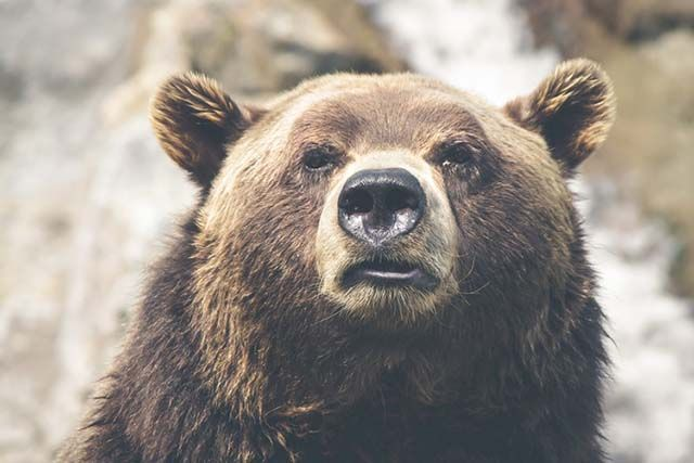 rostro de un oso grizzly canadiense